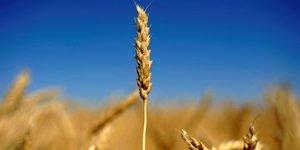 blé, agriculture, agroalimentaire