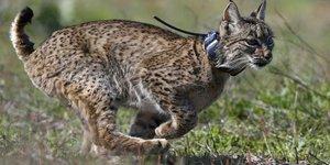 Lynx ibérique dans le parc de Donana